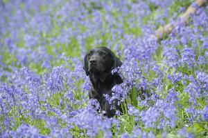 Domestic Dog, sitting amongst Bluebell (Endymion non-scriptus) flowering mass in woodland by John Eveson