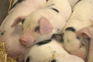 Domestic Pig, Gloucester Old Spot piglets, sleeping, close-up of heads by John Eveson