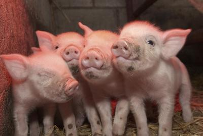 Domestic Pig, Middle White piglets, standing under heat lamp, England by John Eveson