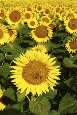 Europe, Italy, Tuscan Sunflowers by John Ford