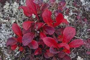 USA, Alaska, Fall Foliage by John Ford