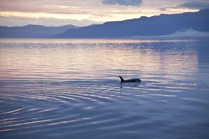 USA, Alaska, Inside Passage, Orcas Cruising by John Ford