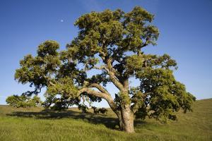 USA, California, Cottonwood Tree and Moon by John Ford