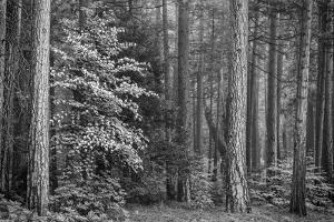USA, California, Yosemite, Dogwoods by John Ford