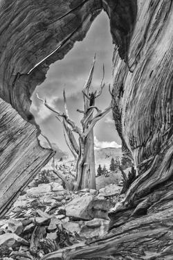 USA, Eastern Sierra, White Mountains, bristlecone pines by John Ford