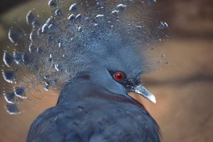 Crowned Pigeon by John Foxx
