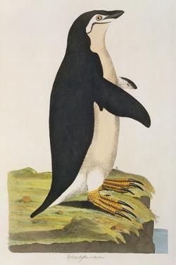 Aptenodytes Antarctica' from 'Cimelia Physica. Figures of Rare and Curious Quadrupeds by John Frederick Miller