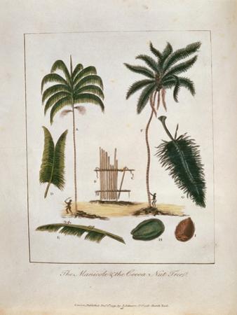 The Manicole and the Cocoa Nut Tree