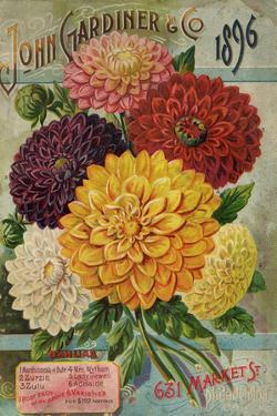 John Gardiner and Co. 1896: Dahlias