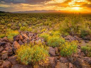 Brittlebush Sunset by John Gavrilis