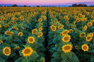 Dawn Sunflowers by John Gavrilis