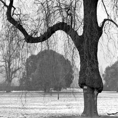 A Mature Weeping Tree in Winter in Kew Gardens with Other Trees Behind, Greater London