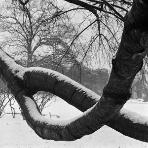 Curving Tree Branches Forming a Loop Covered in Snow in a Snowy Landscape at Kew, Greater London by John Gay