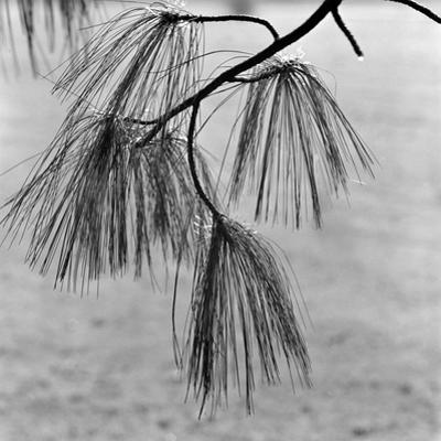 Kew Gardens, Greater London.Twigs and Long Needles on a Pine Tree at Kew Gardens