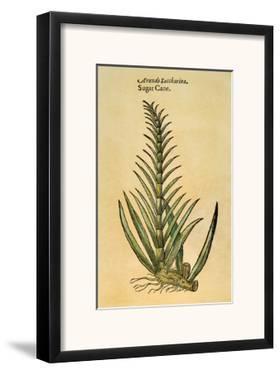 Sugar Cane, 1597 by John Gerard