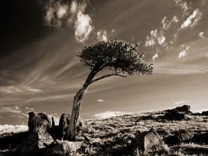 Bristle Cone Pine Tree, Mt. Evans, CO by John Glembin
