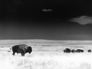 Buffalo Grazing, Buffalo Gap Nat Grassland, SD by John Glembin