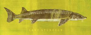 Lake Sturgeon by John Golden