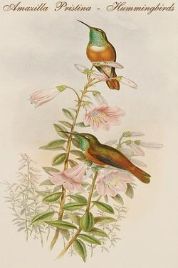 Amazilla Pristina - Hummingbirds by John Gould