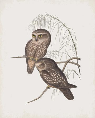Athene Maculata by John Gould
