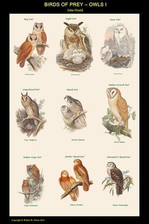 Birds of Prey - Owls - I