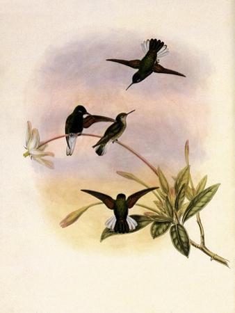 Black-Bellied Hummingbird, Callipharus Nigriventris by John Gould