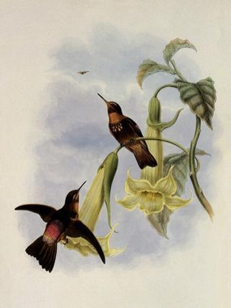 Black-Throated Sunbeam, Agl?actis Caumatonota by John Gould