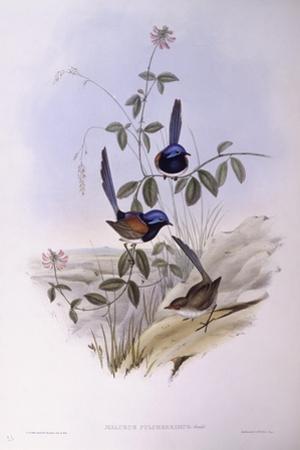 Blue-Breasted Fairywren (Malurus Pulcherrimus) by John Gould