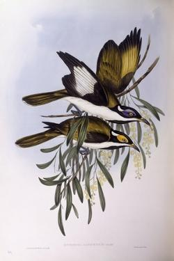Blue-Faced Honeyeater (Entomyzon Cyanotis) by John Gould