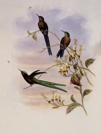 Bolivian Sylph, Cyanthus Bolivianus by John Gould
