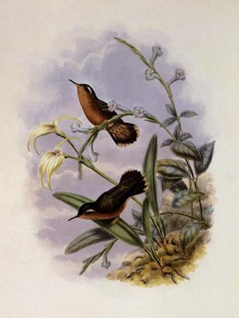 Buff-Breasted Hummingbird, Adelomyia Cervina by John Gould