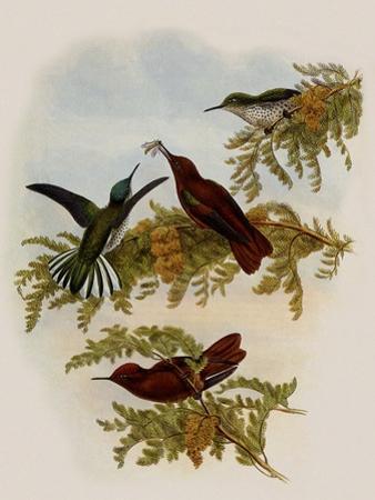 Cinnamon Firecrown, Eustephanus Fernandensis