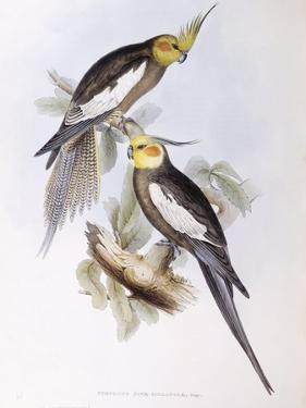 Cockatiel (Nymphicus Hollandicus) by John Gould