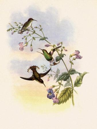 Coppercrown, Elvira Cupreiceps by John Gould
