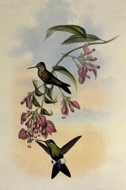 D'Orbigny's Puffleg, Eriocnemis D'Orbignyi by John Gould