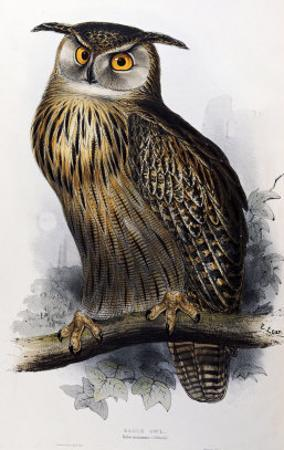 """Eagle Owl, Lithographic Plate from """"The Birds of Europe"""" by John Gould"""