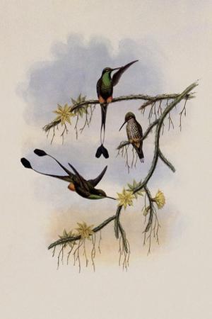 Ecuador Racket-Tail, Spathura Solstitialis by John Gould