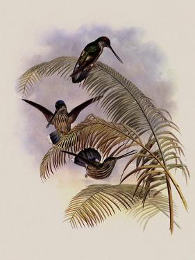 Ecuadorian Tooth-Bill, Androdon �quatorialis by John Gould