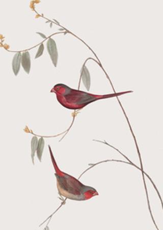Estrelda Phaeton by John Gould