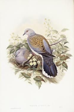 European Turtle-Dove (Streptopelia Turtur) by John Gould