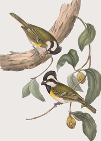 Falcunculus Leucogaster by John Gould