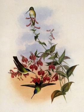 Francia's Azure-Crown, Cyanomyia Franci� by John Gould