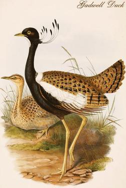 Gadwell Duck by John Gould