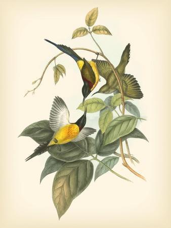 Gould Birds of the Tropics IV
