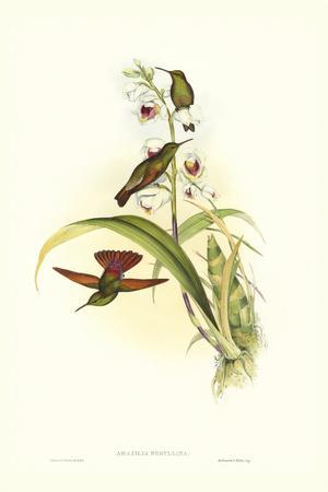 Gould Hummingbird II