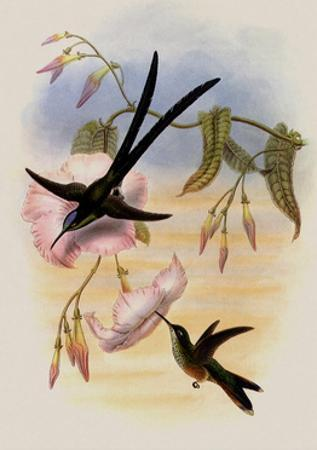 Great Forked-Tailed Hummingbird, Hylonympha Macrocerca