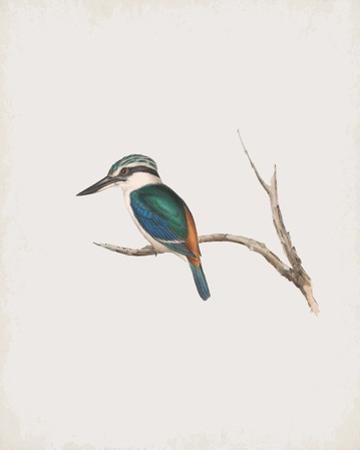 Halcyon Pyrrhopygia by John Gould