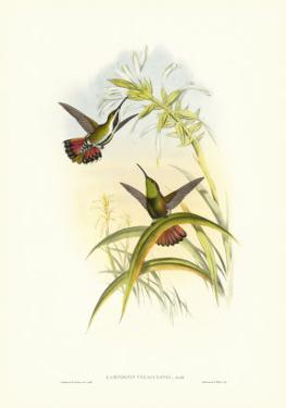 Hummingbird I by John Gould