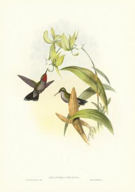 Hummingbird IV by John Gould