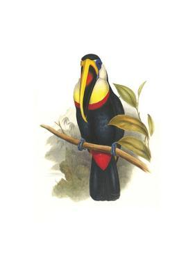 Inca or White Throated Toucan by John Gould